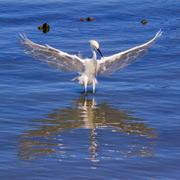 Crane Spreading Wings